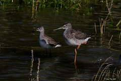 Petit  et Grand Chevaliers / Lesser and Greater Yellowlegs (Laval Roy) Tags: petitchevalier lesseryellowlegs tringaflavipes oiseaux aves birds lavalroy quebec montmagny grandchevalier tringamelanoleuca greateryellowlegs scolopacidés charadriiformes