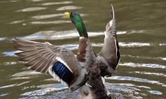 wings wide Sep21st 365-265 (Aidan B Kelly) Tags: duck bird water flight mallard 365challenge