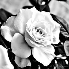 Rosas (Sándalo Armas) Tags: 2015 rosa rose blancoynegro bw bn blackwhite blackandwhite noiretblanc biancoenero pretoebranco черноибяло чернобелый 黑與白 blackandwhiteonly blackwhitepassionaward