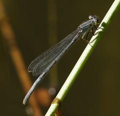 GC_091618i (Eric C. Reuter) Tags: nature wildlife ny catskills hancock lake cabin september 2018 091618 insects odonata odes damselflies