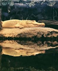 Albino alligator chillaxin' (phongsta) Tags: academyofsciencessanfrancisco academyofsciences reptile albinoalligator albino alligator