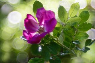 Rosa scabrosa (fam. Rugose)