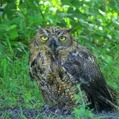 Great Horned Owl (fishhawk) Tags: greathornedowl bubovirginianus dalesridgetrail pennsylvania