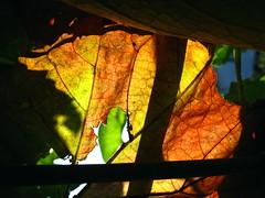 Autumnal abstraction. (ALEKSANDR RYBAK) Tags: абстракция листок осень погода сезон природа макро крупный план прозрачность солнечный свет тень abstraction leaflet autumn weather season nature macro closeup transparency solar shine shadow tree lines
