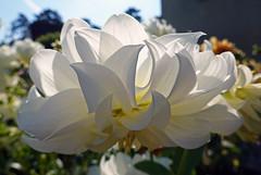 00572 Weisse Dhalienblüte (Fotomouse) Tags: fotomouse margrit weiss white dhalienblüte dhalien blumen flowers blume flower büten blüte blossoms blossom garten garden makro macro sonnenlicht himmel sky