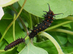 Pipevine Swallowtails_2018.08.14 (Urutu_From_SW_PA) Tags: