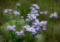 Wild Flowers (JMS2) Tags: flowers wild nature texture painterly purple daisies petals