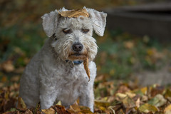 Hello autumn (Torok_Bea) Tags: hund hunde dog dogs lovely mydog mydogs imádom cute helloautumn ősz autumn nikon nikond7200 puli pulidogs hungarianpuli doggy cutedog bestdog