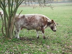 Cows in Christchurch Meadow (hbw_pics) Tags: oxford oxfordshire 11november 2012 england christchurchmeadow cows englishlonghorn