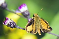 Butterfly Zabulon Skipper (rumerbob) Tags: pennypackenvironmental butterfly butterflyonflower butterflyzabulonskipper butterflyskipper insect bug nature naturewatcher naturephotography canon7dmarkii canon100400mmlens