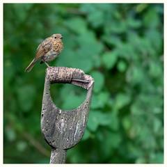 Juvenile Robin (Linz27) Tags: bird robin copyrightlindseybowes northyorkshire garden
