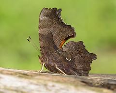 eastern comma (crgillette77) Tags: pennsylvania bradfordcounty butterfly easterncomma polygoniacomma
