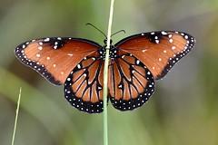 Queen Butterfly (bmasdeu) Tags: queen butterfly orange florida pinelands