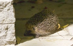 Hérisson d'Europe au jardin - IMBF6052 (6franc6) Tags: occitanie languedoc gard 30 petitecamargue juillet 2018 6franc6 vélo kalkoff vae