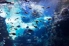 At Sagami Bay big tank in Enoshima Aquarium, Fujisawa : 相模湾大水槽(新江ノ島水族館) (Dakiny) Tags: 2018 summer july japan kanagawa fijisawa shonan coast enoshima kataseenoshima park aquarium enoshimaaquarium city street indoor creature fish underwater blue nikon d750 tamron 35mm f18 tamronsp35mmf18divcusd tamronsp35mmf18divcusdmodelf012 sp35mmf18divcusd sp35mmf18divcusdmodelf012 modelf012