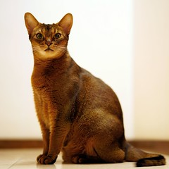 Lizzie posing (DizzieMizzieLizzie) Tags: abyssinian aby lizzie dizziemizzielizzie portrait cat feline gato gatto katt katze kot meow pisica sony neko gatos chat fe ilce 2018 ilce7m3 a7iii pose classic pet fool golden bokeh dof animal zeiss planar t 50mm f14 za fly