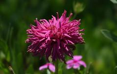 Bad hair day (eric zijn fotoos) Tags: macro bloem flower plant garden tuin nature natuur flora sonyrx10m3 nederland noordholland