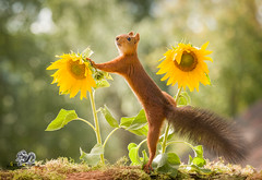red squirrel is climbing between two sunflowers (Geert Weggen) Tags: animal autumn bright bud cheerful closeup cute flower foodanddrink horizontal humor land lightnaturalphenomenon mammal moss mushroom nature perennial photography plant red rodent springtime squirrel summer sweden tasting toadstool fun fight fall couple attack young sunflower split reach geert weggen bispgården jämtland ragunda hardeko