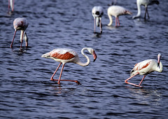 IMG_5709 (ibzsierra) Tags: ibiza eivissa baleares canon 7d tamron g2 150600 flamenco flamingo ave bird oiseau salinas parque natural