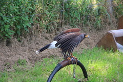 edenbridge & oxted 2017 birds of prey (2) (Shows and things) Tags: edenbridge oxted agricultural show birds prey 2017
