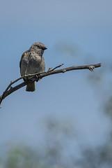 Grey-headed Sparrow/Passer griseus, (odileva) Tags: june greyheadedsparrowpassergriseus kenia masaimaranp nature transmara riftvalleyprovince kenya ke