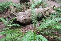 Redwood and ferns (Randy Gardner 88) Tags: rockefellerforest humboldt humboldtcounty humboldtcountycalifornia california redwoods state park humboldtredwoodsstatepark redwood trees fern