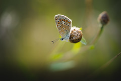 Overwatch (der_peste (on/off)) Tags: butterfly blue blues silverstuddedblue insect macro proxy bokeh dof blur nature