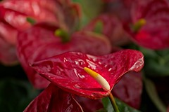 Anthuria (brev99) Tags: d610 tamron70300vc ononesoftware on1photoraw2018 nikoutputsharpener longwoodgardens pennsylvania anthurium bokeh echoes anther reds closeup greenhouse conservatory