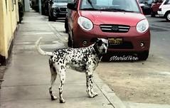 """Hola... mi nombre es """"Pirata""""..! (MariaTere-7) Tags: perro mascotas amigo cariñoso fiel sanmiguel lima perú maríatere7"""