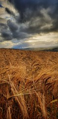 Good as Gold (Mark.L.Sutherland) Tags: wheat crops sky land scottishlandscape landscape clouds field farming depthoffield dof pov pointofview scotland highlands dramatic sunshine crepuscularrays lightrays samsung smartphone androidography galaxys9plus marksutherland amaturephotographer cellphone phonephotography phoneography cameraphone