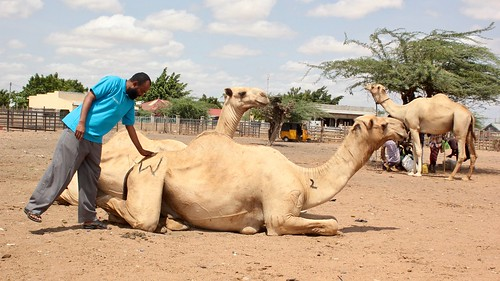 Muktar and camels