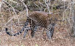 young Leopard-Yala National Park,Sri Lanka (tsd17) Tags: leopard srilanka bigcat yala canon sigma