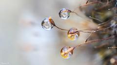 Four dropets -5837 (ΨᗩSᗰIᘉᗴ HᗴᘉS +22 000 000 thx) Tags: quatre four nature drop droplet water rain hensyasmine namur belgium europa aaa namuroise look photo friends be wow yasminehens interest intersting eu fr greatphotographers lanamuroise macro mpe65mmf28 canon