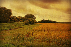 Country Landscape (Dave Linscheid) Tags: rural country farm agriculture watonwancounty mn minnesota usa texture textured soybeans autumn fall summer crop tree cloud