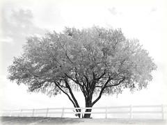 High Key Tree (Corgibird) Tags: highcontrast highkey blackandwhite bw sepia outdoors beer trash garden angel wroughtiron tree grass fence yard commonarea