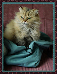 3097 Tiger our Tabby Persian darling (mensinkr) Tags: pet cat animal dieren huisdier darling tabby persian pers nature mammals zoogdier huisvriend animals ourcats ourpets felina katze stripes