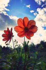 #wayhome #kotimatkalla #flowerpower #kukkaenergiaa #happy #ihanaelämä #beautifulllife #eyecandy #helsinki #finland 12.9.2018 (peltola.kristiina) Tags: wayhome kotimatkalla flowerpower kukkaenergiaa happy ihanaelämä beautifulllife eyecandy helsinki finland