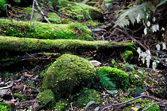 20180914-10-Fallen wattle flowers on moss (Roger T Wong) Tags: 2018 australia fernglade ferntree hobart rogertwong sel24105g sony24105 sonya7iii sonyalpha7iii sonyfe24105mmf4goss sonyilce7m3 tasmania green moss wattleflowers