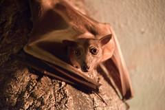Big Eyes (MTSOfan) Tags: fruitbat bat eyes echolocate epz rodent strawcoloredfruitbat