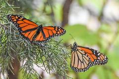 DSC_9990 (greenjay2) Tags: butterflies insects monarchdanausplexippus