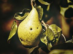 End of summer - a pear (PHOTOGRAPHY Toporowski) Tags: abstrakt deutschland contrast firstimpressions garden green herbst autumn shadow schärfentiefe schatten nature germany grün grain garten natur korn biodiversity eschweiler nrwnordrheinwestfalen deu