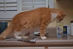 Jimmy's destination: the bird glass (rootcrop54) Tags: jimmy funny orange ginger tabby male cat stretch stretching kitchen counter neko macska kedi 猫 kočka kissa γάτα köttur kucing gatto 고양이 kaķis katė katt katze katzen kot кошка mačka gatos maček kitteh chat ネコ