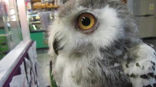 Anna,a baby snowy owl