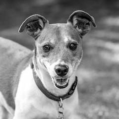 Popeye15Sep201820-Edit.jpg (fredstrobel) Tags: dogs pawsatanta phototype atlanta blackandwhite usa animals ga pets places pawsdogs decatur georgia unitedstates us