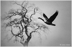 Loneliness (lukiassaikul) Tags: creativephotography digitalpainting photopainting monochrome bird largebird goose canadagoose tree bigtree oak oaktree winter winterscene