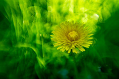 Dandelion (jan-reri) Tags: macro dandelion flower modified
