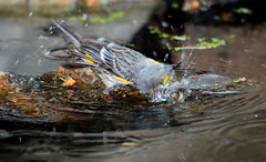 Bath Antics -- Yellow-rumped Warbler -- Juvenile (Dendroica coronata); Santa Fe National Forest, NM, Thompson Ridge [Lou Feltz] (deserttoad) Tags: wildlife nature newmexico mountain nationalforest desert bird wildbird warbler reflection