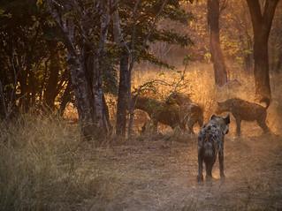 Chobe Hyenas 0111