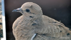 DSC_0064 (RachidH) Tags: birds oiseaux dove touterelles pigeons mourningdove zenaidamacroura tourterelletriste northbeach sanfran sanfrancisco sf ca california rachidh nature telegraphhill