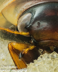 Colymbetes fuscus diving beetle stacked image (Neil Phillips) Tags: 11bwpa18 colymbetesfuscus divingbeetle dytiscidae insecta waterbeetle aquatic arthropod arthropoda beetle bug diving freshwater hexapod insect invertebrate predatory watertiger